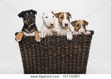 A bull terrier puppy family in a basket