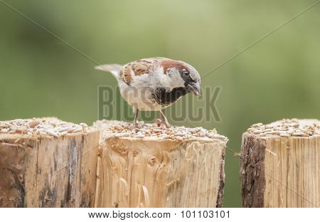 Sparrow Passer domesticus perched on a tree trunk eating