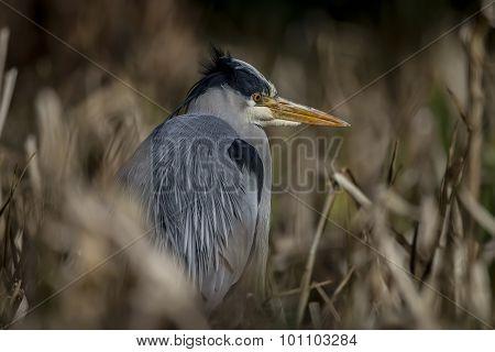 Grey Heron ardea cinerea sitting amongst some reeds