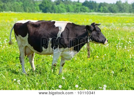 Cow in the meadow solar day
