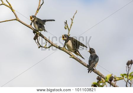 Swallow Hirundo rustica juveniles on a branch waiting to be fed