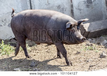 Wild Boar Hunting In The Aviary. Wild Boar - The Object Of Sport Hunting. Hunting Trophy.