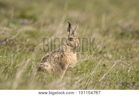 Brown Hare, Lepus, sitting on the grass, close up