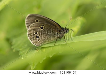 Ringlet butterfly standing on a blade of grass