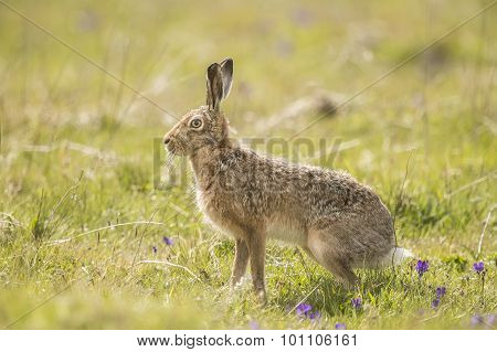 Brown Hare, Lepus, standing in a field, ready to run