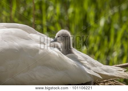 Cygnets sitting in adult Swans tail feathers