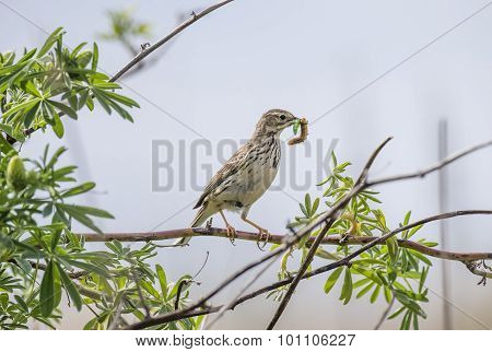 Meadow pipit on a branch with caterpillars in its beak