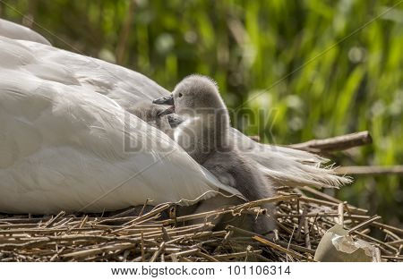 Cygnet in adult Swans tail feathers pecking a sibling
