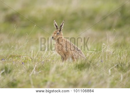 Brown Hare, Lepus, sitting in a field
