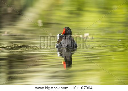 Moorhen, Gallinula chloropus, swimming on a pond