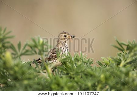 Meadow pipit in a tree with caterpillars in its beak