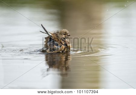 Linnet Carduelis cannabina washing in a puddle