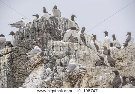 Common Guillemot Uria aalge Kittiwake Rissa and Razorbill Alca torda on a cliff with nests and juven