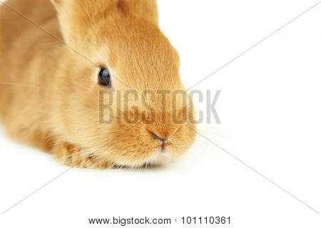 Young Red Rabbit On White Background
