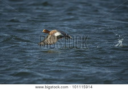 Wigeon Anas penelope flying over a dark blue sea