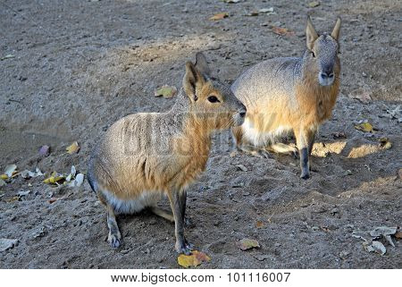 Two adult Patagonian maras or Dolichotis patagonum