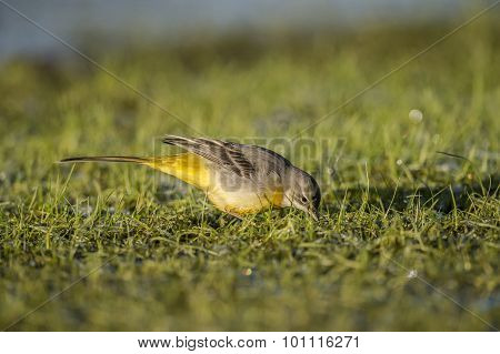 Grey wagtail on frosty grass looking for food