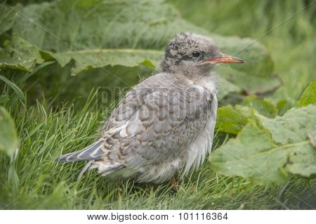 Arctic tern Sterna paradisaea chick sitting on the grass