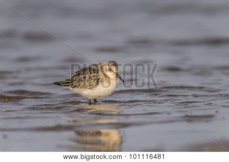 Sanderling Calidris alba wading in the sea