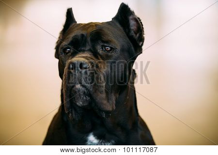 Black Adult Cane Corso Close Up