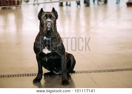Black Adult Cane Corso Sitting On Floor.