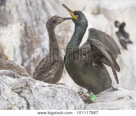 European Shag Phalacrocorax aristotelis adult and chick on the cliff edge