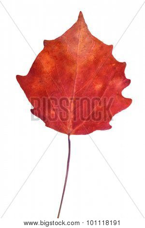 dark red aspen fall leaf isolated on white background