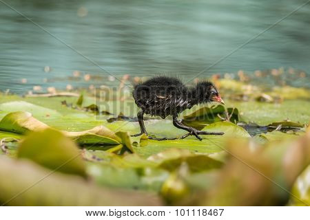 Moorhen Gallinula chloropus juvenile on a Lily pad