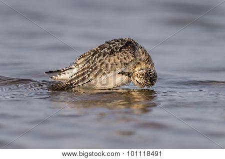 Sanderling Calidris alba grooming itself in the sea
