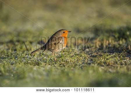 Robin on icy grass in the Winter