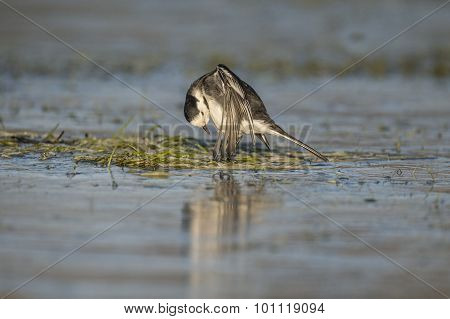 Pied wagtail Motacilla alba preening itself on the ice