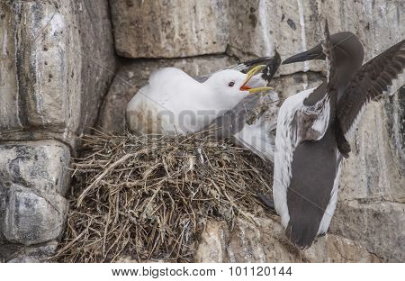 Kittiwake Rissa protecting its nest on the cliff edge from a Common Guillemot Uria aalge