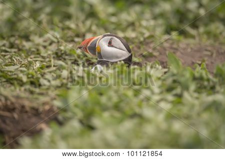Puffin Fratercula arctica head popping out of its burrow