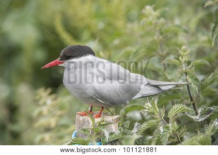 Arctic tern Sterna paradisaea standing on a post