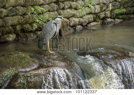 Grey Heron ardea cinerea standing at the top of a waterfall