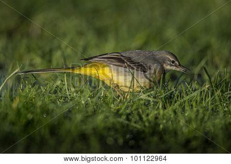 Grey Wagtail Motacilla cinerea standing on grass eating food