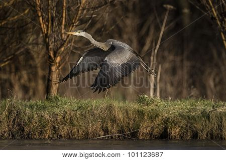 Grey Heron Ardea cinerea taking off from the edge of a frozen pond