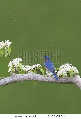 Male Bluebird in White Flowers