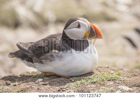 Puffin Fratercula arctica sitting on the ground