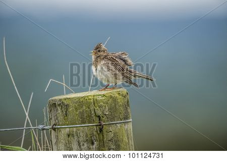 Skylark Alauda arvensis perched on a post