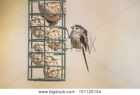 Long-tailed tit perched on a bird feeder