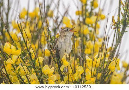 Sedge warbler perched in a tree tweeting