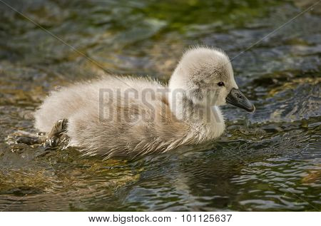 Cygnet swimming down the river close up