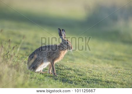 Brown Hare, Lepus sitting on the grass