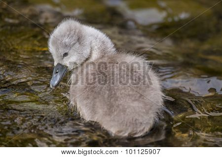 Cygnet floating in the river close up