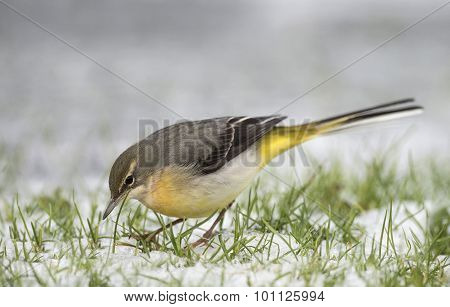 Grey Wagtail Motacilla cinerea standing on snow looking for food