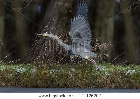 Heron Ardea cinerea flying from the edge of a frozen pond