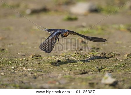 Swallow Hirundo rustica flying from beach with nesting material