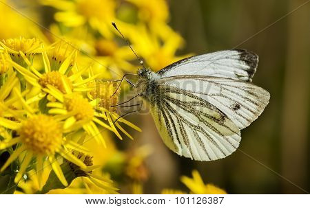 Green-veined White butterfly (Pieris napi) on a dandelion plant
