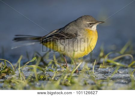 Grey wagtail on frosty grass close up